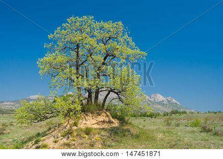 Landscape with splendid lonely oak on a hill against Eastern Crimean mountains at spring season.