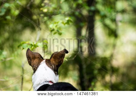 Happy Dog Is Looking For Direction In Forest