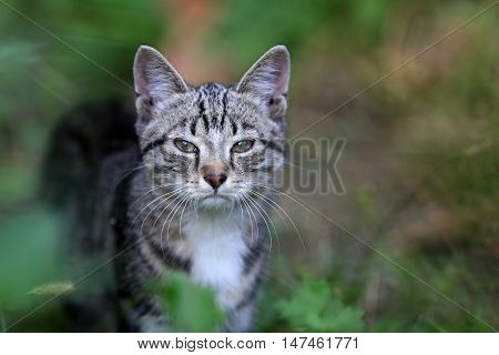 The domestic cat is a domesticated species of mammal in a row predatory felines