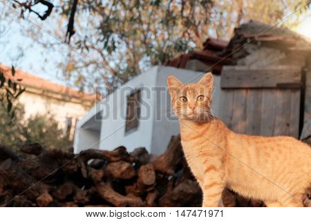 Brown cat of a village on rural area in Turkey