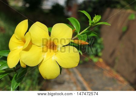 Golden Trumpet Allamanda cathartica willow-leaved climber blooming in the garden. Yellow flower poster