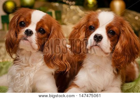 Cavalier King Charles Spaniel lying down in front of Christmas tree