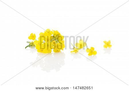 Rapeseed flower isolated on white background. Natural flower.