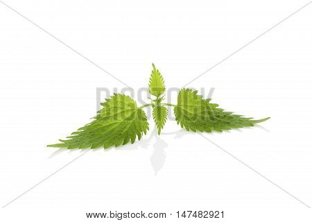 Stinging nettle leaf isolated on white background. Natural remedy.