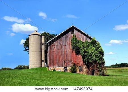 Weathered wooden barn is overgrown with ivy. Red barn sits besides concrete silo in rural Wisconsin.