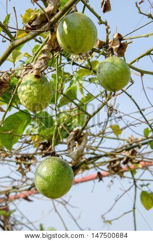 Green unripe passionfruit hanging on a tree in farm Passiflora edulis.