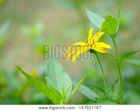 Close-up of yellow flower blooming on natural green blurred background.