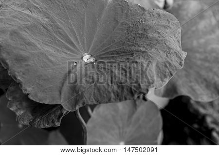 Lotus leaf with water drops, Color effect