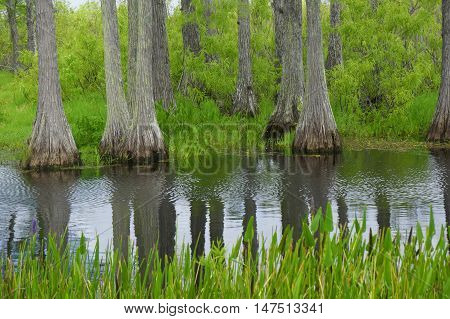Cypress Stumps Reflecting