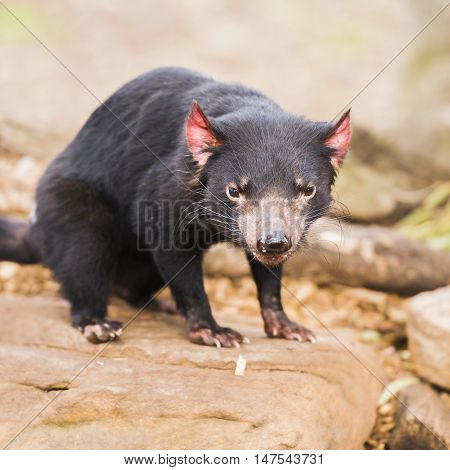 Tasmanian Devil In Hobart, Tasmania