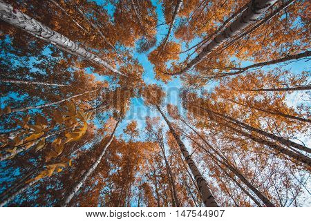 Picturesque bright yellow crown tops in autumn forest and blue sky