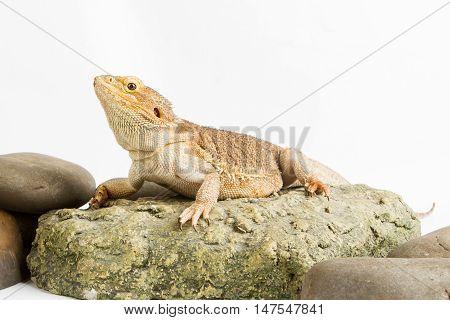 Bearded Dragon on white background. lizard isolated on white background