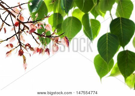 Green Pho tree leaf natural isolate background