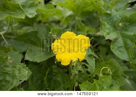 Thai Sponge Gourd Flower,zucchini Flower,close-up Of Sponge Gourd.