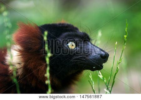 Portrait of red ruffed lemur in detail.
