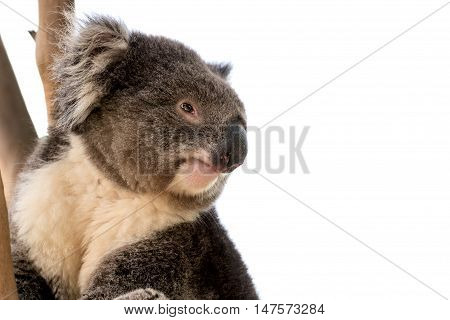 Australian koala bear close up isolated with copyspace for slogan or text message