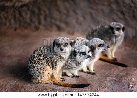Portrait of family  of watchful  four  Meerkats