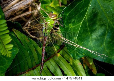 The Green And Blue Emperor Dragonfly