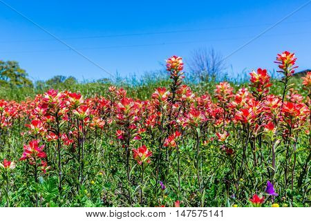 Orange Indian Paintbrush Wildflowers In Texas