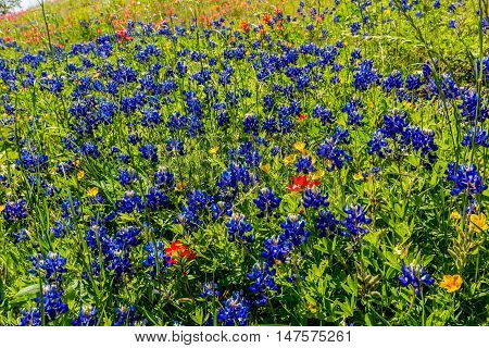 Various Texas Wildflowers