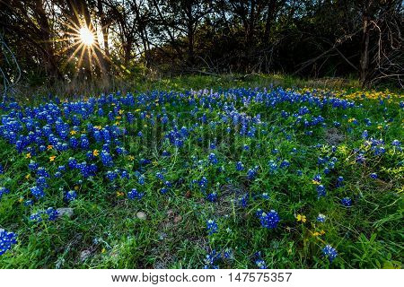 Beautiful Famous Texas Bluebonnet (Lupinus texensis) Wildflowers at Muleshoe Bend in Texas with a Beautiful Starburst Sunset Through the Trees.