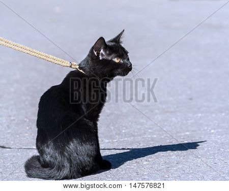 a young black cat with big yellow eyes, six months, sitting on a pavement in the city, walking on thin ropes course leash, sunny, bright, shiny fur, portrait from the back in profile,