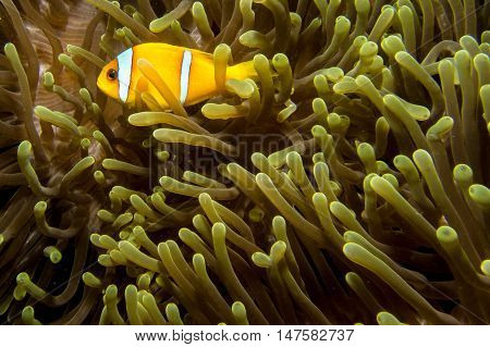 Nemo Fish In An Anemone