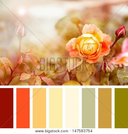Yellow and red roses in sunlight, in a colour palette with complimentary colour swatches.