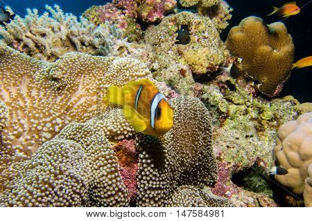 Nemo or red sea clownfish in an anemone