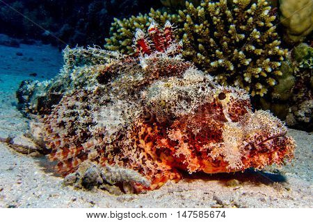 Portrait of scorpionfish in the red sea