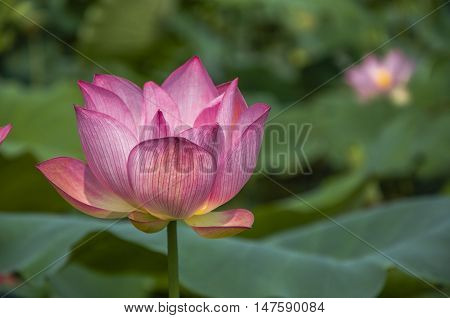 The beautiful blossoming lotus flower in summer season