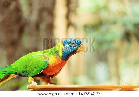Green parrot near the feeders eating fruit. Rainbow lorikeet