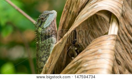 Lizard with stump, Calotes emma on Banan Leaf, Krabi, Thailand