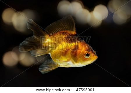 gold fish isolate on lighting blur background