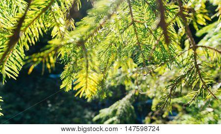 Nature background of sunny pine tree needles on branch. Wild nature background. Nature background. Green nature. Nature background. Nature pattern Nature Great nature Background nature