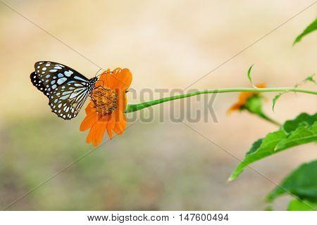 A monarch butterfly feeding on pink flowers in a Summer garden.