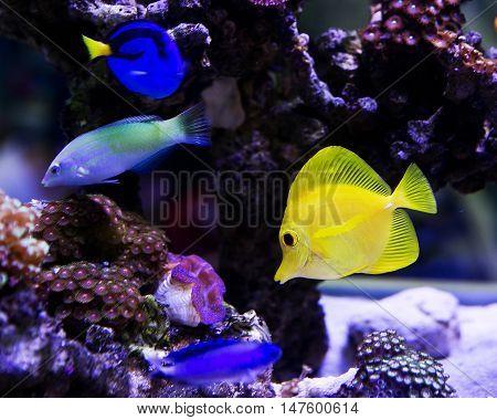 Beautiful zebrasoma salt water aquarium life fish