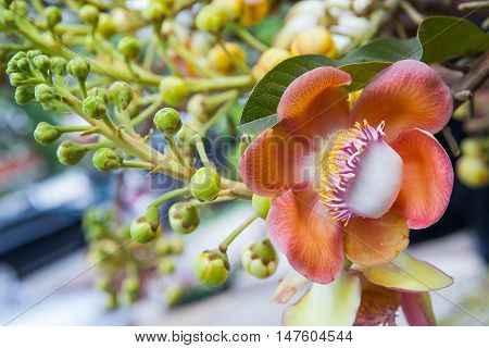 The close up of beautiful cannonball tree flower or Couroupita guianensis flower