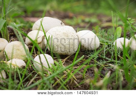Not a few Fungus-slicker abundantly grows on wet soil. In Autumn