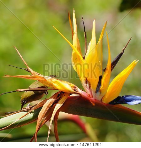 pollination of strelizia reginae by bird here in South Africa poster