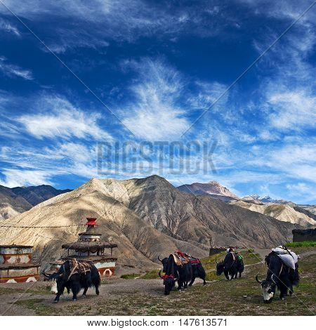 Caravan of yaks in Saldang village Nepal. Saldang lies in Nankhang Valley the most populous of the sparsely populated valleys making up the culturally Tibetan region of Dolpo.