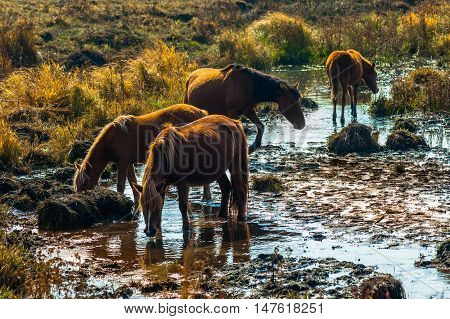 Horses are drinking. At Bashang Grassland, Hebei, China.