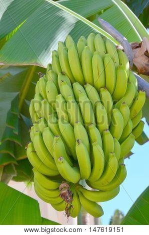 Bunch of banana growing on banana tree.
