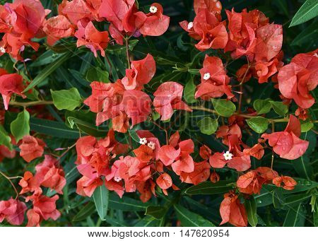 Red Bougainvillea flowers close up.Selective focus.Floral background.