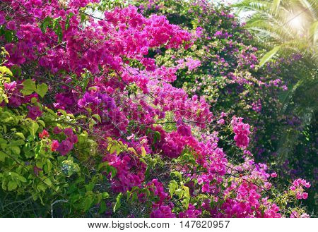 Bougainvillea flowers in the garden close up.