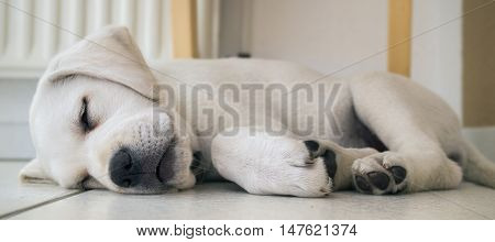 tired dog - young cute labrador puppy is sleeping on the floor