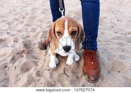 Sad Puppy Beagle Sitting On Sand