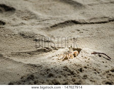 Local white crab on beach.