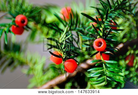 Closeup of Taxus baccata or European Yew with mature red cones.