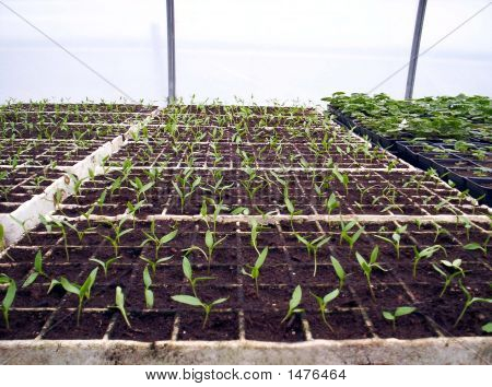 Pepper Seedlings And Geraniums